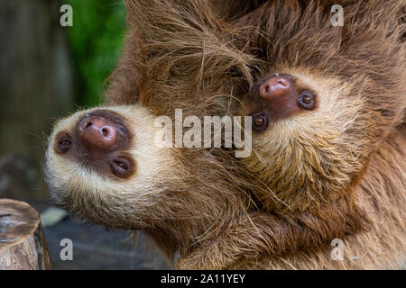La mia de Hoffmann, vetado dos 'Choloepus hoffmanni sloth' con su bebé en el Diamante Eco Adventure Park en Guanacaste, Costa Rica