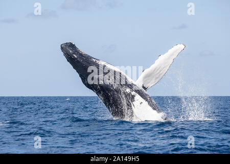 Una ballena jorobada incumplimientos de las azules aguas del Mar Caribe.