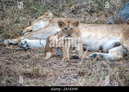 Cachorros de león quedarse cerca de la madre mientras amamanta.