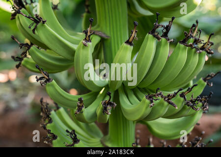 Jóvenes orgánicos en un racimo de banano verde en un árbol. Racimo de plátanos verdes en un árbol
