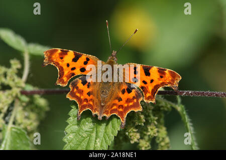 Una bonita mariposa, Coma Polygonia c-album, encaramado sobre una planta de ortiga.