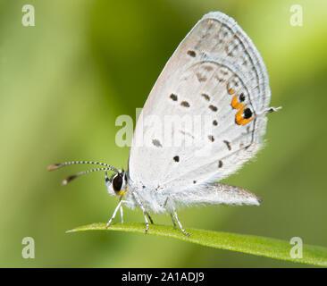 Este diminuto cola mariposa azul descansando sobre una brizna de hierba contra el fondo verde de verano Foto de stock