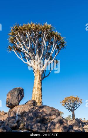 El carcaj árbol o árbol carcaj Aloidendron dichotomum, Bosque, Keetmanshoop, Karas, Namibia
