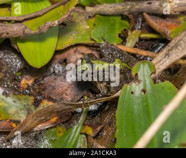 Blanchard's cricket rana, rana de árbol, de especies en su entorno natural de vegetación en la orilla de un estanque.