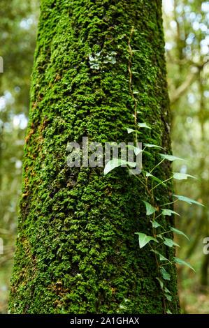 Mossy tronco común con una hiedra (Hedera helix) en el volcán de Santa Margarida Bosque (Parque Natural de la Zona Volcánica de La Garrotxa, Santa Pau, Girona, España)