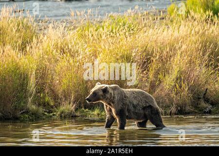 Un oso pardo siembre paseos a lo largo de las riberas del bajo Río Brooks en el Parque Nacional Katmai y preservar el 16 de septiembre de 2019 cerca de King Salmon, Alaska. El parque abarca los mundos más grande salmon run con casi 62 millones de salmones migran a través de los arroyos que alimenta algunos de los Osos más grande en el mundo.