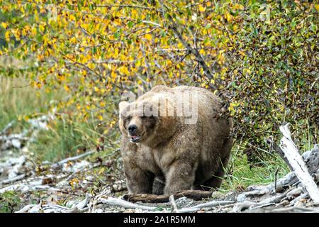 Un gran oso pardo adulto femenino conocido como 435 Holly, sale de los árboles en la playa cerca de Brooks en el campamento en el Parque Nacional Katmai y preservar el 16 de septiembre de 2019 cerca de King Salmon, Alaska. El parque abarca los mundos más grande salmon run con casi 62 millones de salmones migran a través de los arroyos que alimenta algunos de los Osos más grande en el mundo.