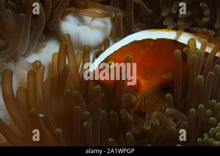 El pez payaso amarillo (naranja anemonefish, Skunk anemonefish) está ocultando en anémonas, Panglao, Filipinas Foto de stock