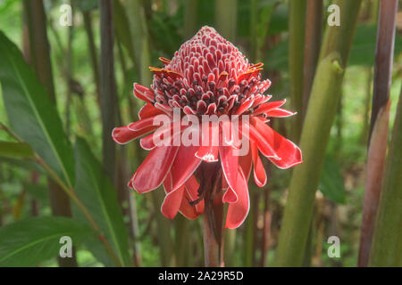 Hermoso color rojo antorcha jengibre (Etlingera elatior) Flor, Parque Nacional Podocarpus, Zamora, Ecuador