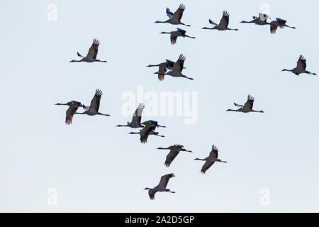 Bandada de grulla común (grus grus) en vuelo como siluetas, Welney, Norfolk, Inglaterra