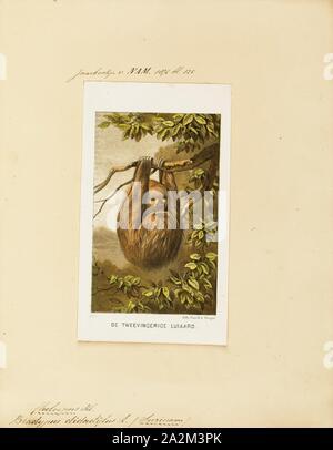 Bradypus didactylus, Imprimir Linnaeus dos dedos cada sloth (Choloepus didactylus), también conocido como el sur de dos dedos cada perezoso, unau, o Linne de dos vetado la pereza es una especie de pereza de América del Sur, que se encuentra en Venezuela, las Guayanas, Colombia, Ecuador, Perú y Brasil al norte del río Amazonas. Existe ahora la evidencia sugiere que el área de distribución de la especie se expande en Bolivia, 1700-1880.