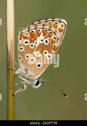 Aricia cramera, Sur de Brown Argus marrón naranja pequeña mariposa de la familia Lycaenidae inn siguen durmiendo al amanecer luz natural