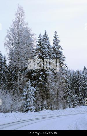 Bosque durante el invierno. En esta fotografía se puede ver varios árboles de hoja perenne con abundante nieve pesada en sus ramas. Terreno nevado. Día de invierno frío.