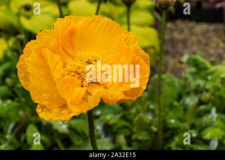 Naranja Amapola de California eschscholzia californica cabeza floral de cerca.