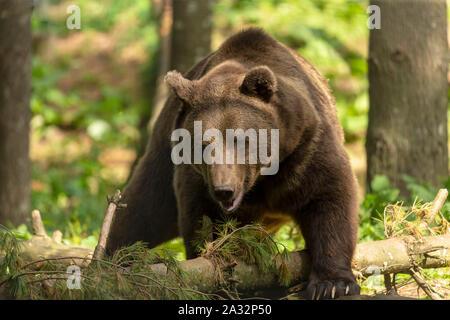 El oso pardo (Ursus arctos) en su ambiente natural escenario natural del hábitat forestal
