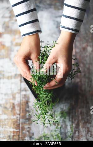 El enfoque selectivo. Chica manos sujetan el tomillo creciendo en una maceta. Hierbas picantes son cultivados en casa.