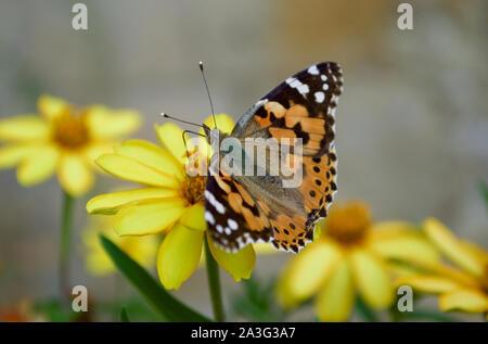 Un Painted Lady butterfly saboreando el néctar de una flor