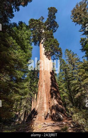 Una vista de árbol general de concesión en el Parque Nacional Kings Canyon, California. Es el segundo árbol y organismo vivo sobre la tierra.