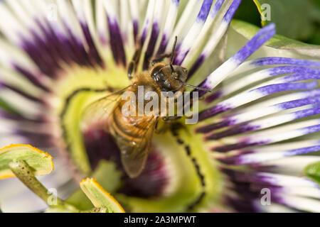 Miel de abejas (Apis mellifera) forrajeando en una flor de la pasión (Passiflora caerulea), Berkshire, Agosto