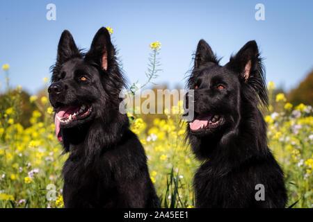 Dos negras viejo perro Pastor Alemán hembras en frente de un campo de flores amarillas