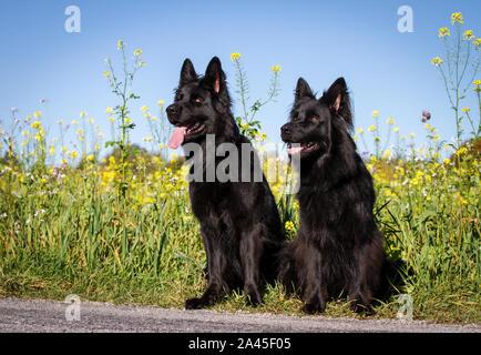 Dos negras viejo perro Pastor Alemán hembras sentado en frente de un campo de flores amarillas