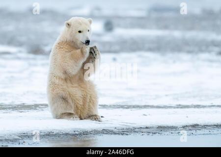 El oso polar (Ursus maritimus) en Kaktovik, Alaska, en el Círculo Polar Ártico