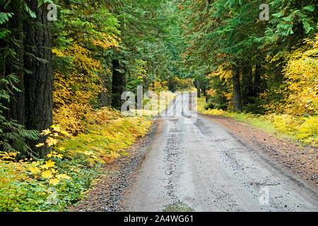 Un camino de grava húmeda serpentea a través de un antiguo bosque templado lluvioso de crecimiento en otoño, en el Oregon Cascade Mountains.