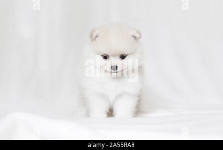 Cachorro de Pomerania en frente de fondo blanco.