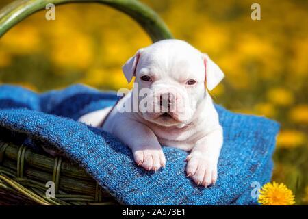 Cachorro bulldog americano en una cesta