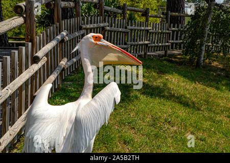 Pelikan im Zoo Punta Verde en Lignano (Italien) / Tierpark en Lignano / Sehenswürdigkeit en Lignano (Italien) / Pelican en el Zoo Punta Verde