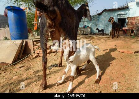 Cabra bebé chupa la leche de su madre en Bundi. Rajastán. La India