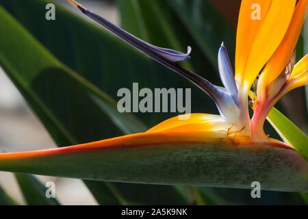 Detalle de una flor de Ave de Paraíso, Strelitzia reginae, planta en el sur de España.