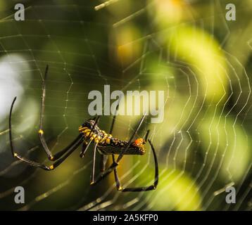 Araña exótica en Tailandia Foto de stock