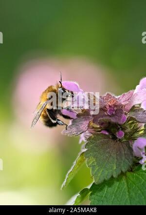 Bumblebee alimentándose de una red dead-flor de ortiga