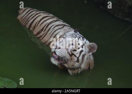 Closeup retrato de un tigre blanco.blanco tigre siberiano natación. - Imagen