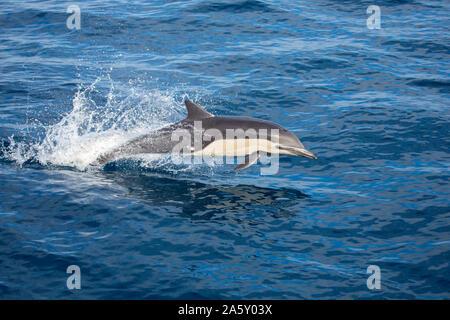 Este delfín común, Delphinus delphis, fue uno en una escuela de más de 1000 en el Pacífico, fuera de México.