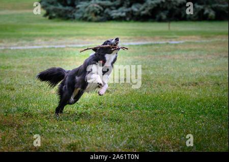 Border Collie perro en el campo corriendo y feliz con palo en su boca y saltar a través de la hierba