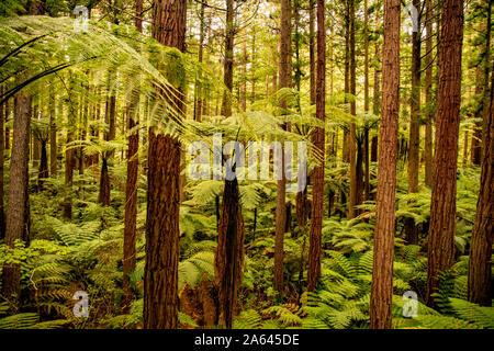 Gruesas exuberantes dosel del bosque de secoyas altos de Whakarewarewa en Rotorua, Nueva Zelanda