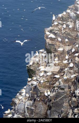 Colonia de cría de aves volar acantilado con el norte de alcatraces (Morus bassanus) anidan, Cabo de Santa María en la reserva ecológica, Newfoundland, Canadá Foto de stock