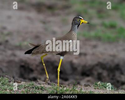 Chorlo, wattled africanos Vanellus senegallus, solo pájaro en rama, Kenya, septiembre de 2019