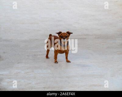 Gracioso perro pequeño con collar, Chihuahua cachorro mirando a la cámara y de pie sobre fondo amarillo. Foto de stock