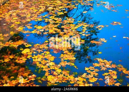Hojas de arce amarillo flotando sobre el agua oscura