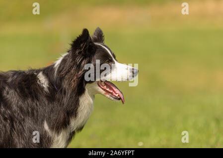 Cute Border Collie perro obediente. Retrato de cabeza