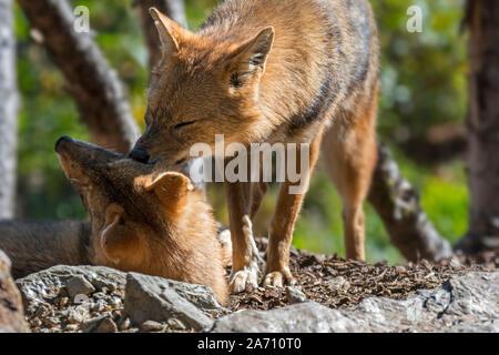 El Chacal dorado (Canis aureus) saludo macho pareja femenina, cánidos nativa del sureste de Europa y Asia