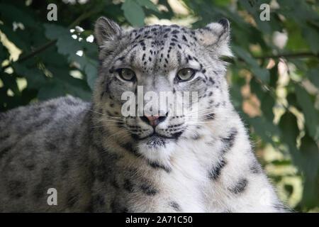 Snow Leopard, hembra Taïga vertical (Panthera uncia)