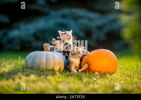 Hermanos Cute gatitos jugar y sentarse alrededor de calabazas en otoño verde hierba en un prado. Cálida luz del atardecer, fotos en la hora dorada en octubre día poco antes de Halloween.