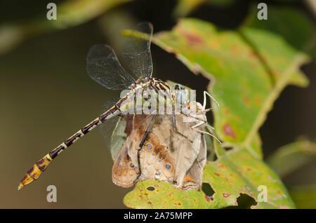 Bandera-tailed Spinyleg, Dromogomphus spoliatus, alimentándose de capturados Buckeye, Común Junonia coenia