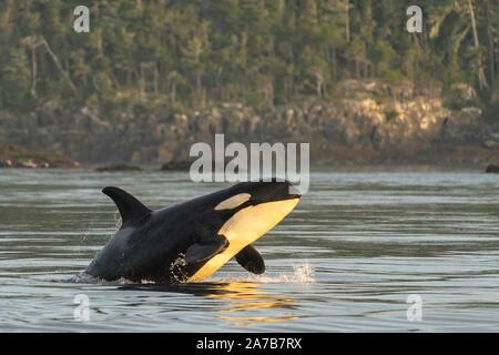 Residente del norte orca (Orcinus orca) Infracción cerca de Pearse islas fuera de Telegraph Cove, en la isla de Vancouver, las Primeras Naciones Territorio Británico, Col