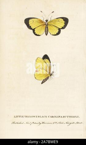 Nublado, Colias philodice mariposas de azufre. (Poco amarillo y negro Carolina butterfly) ilustración copiada de George Edwards. Copperplate Handcolored grabado de 'El Naturalista's Pocket Magazine', Harrison, Londres, 1801.