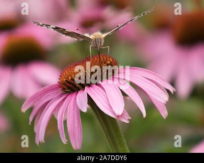 Close-up de un Painted Lady (Vanessa cardui) en la flor de una coneflower